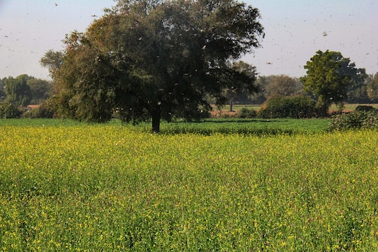 File photo of a locust-affected field in Gujarat's Banaskatha district. (mage: PTI)