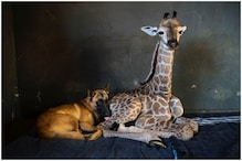 Abandoned Baby Giraffe Who Befriended Dog Dies Beside it in South African Animal Orphanage