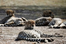 African Cheetahs Could Return to India as SC Clears Project; Rajasthan, MP Selected as Their 1st Home