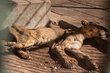 Heartbreaking Photos of Starving Lions in Sudan Zoo Spark Concern