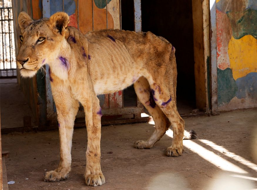 At an impoverished, forlorn zoo in Sudan's capital, the park's few remaining lions are starving in rusted cages — their ribs protruding, eyes glassy and skin flaccid, desperate for food and water. The unsettling images, shared on social media by a local animal rights advocate, drew impassioned responses from thousands around the world.<br /><br />In this photo,a malnourished lion is seen standing inside its cage at the Al-Qureshi Park in Khartoum, Sudan. (Image: Reuters)