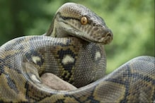 Six Pythons Rescued from Abandoned Pipe in Odisha, and the Longest One Measures 18 Feet