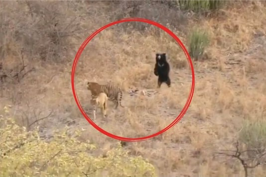 Watch: Video of Sloth Bear Shooing Tiger Away is the Funniest Thing You'll See Today