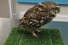 Owl-besity: This Owl Had to be Rescued after Becoming 'Too Fat to Fly'
