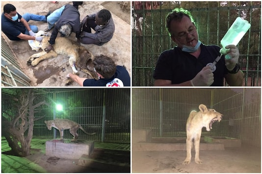 Sudan lions get help after viral photos caused outrage | Image credit: Twitter/Four Paws International