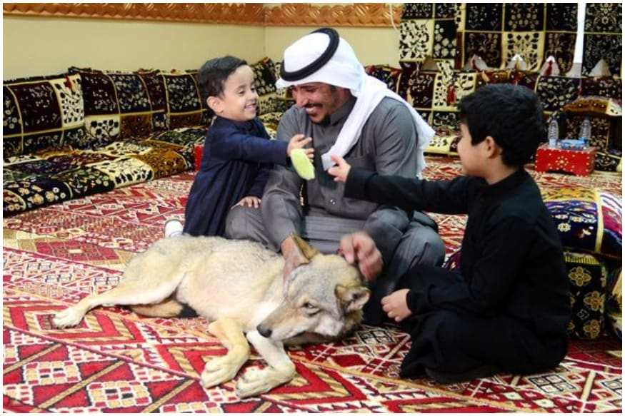 Arab Man Has Seven Full Grown Wolves as Pets that Live at Home with His Children