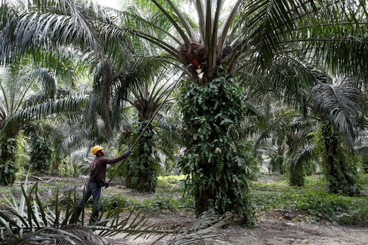 A worker collects palm oil fruits at a plantation in Bahau, Negeri Sembilan, Malaysia January 30, 2019 (Reuters)