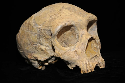 For Representation: An ancient Neanderthal skull, a similar hominin as the ghost population discovered now, recovered from Forbes' quarry in 1848. (Photo: Wikimedia Commons)