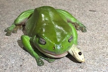 Green Tree Frog Manages to Survive After Eating Venomous Snake and the Internet is Shocked