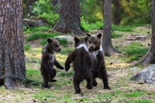 Casting Spell? Captivating Picture of Bear Cubs 'Dancing' in Forest Delights the Internet