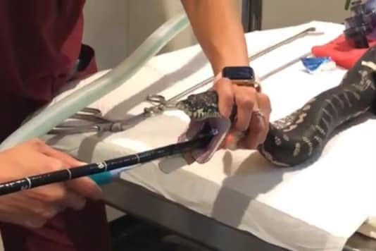 Vets Rescue Monty the Python After it Swallowed a Beach Towel