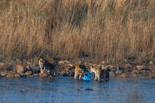 Corbett Tigers Chewing Plastic Drums Sparks Concern, 'Do We Care?' Asks Social Media