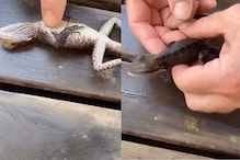 Watch: Rescuers Use CPR to Bring a Lizard Back to Life after It Drowned in a Pool