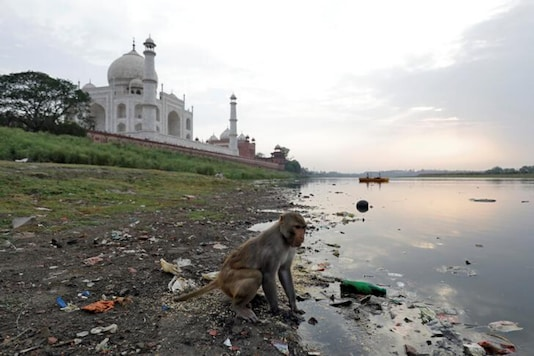 For representation: A monkey looks for eatables on the polluted banks of the Yamuna river next to the historic Taj Mahal in Agra, India. (Reuters)