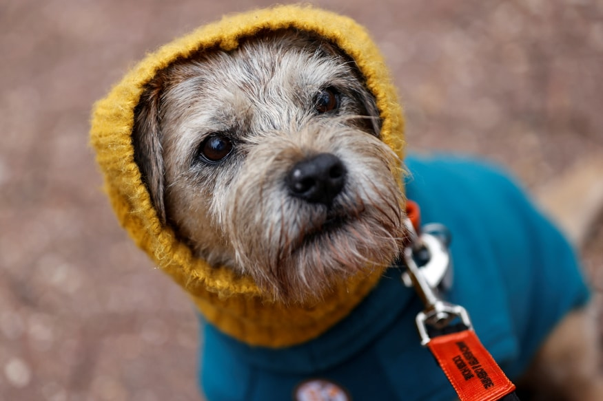 A Border Terrier is seen wearing a hoodie on the first day of the Crufts Dog Show in Birmingham, Britain. (Image: Reuters)