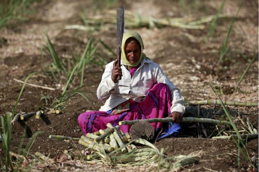 A worker cuts sugarcane in a field in Solapur, Maharashtra. (Reuters)