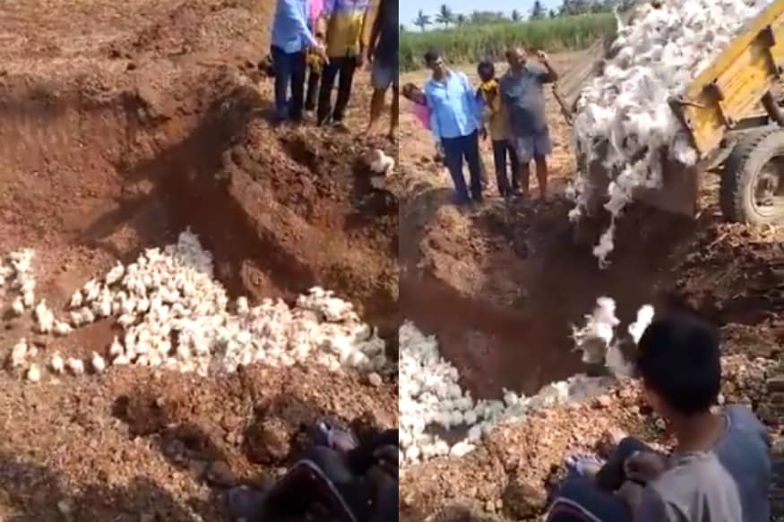 karnataka poultry farmer buries alive 6 000 chickens in