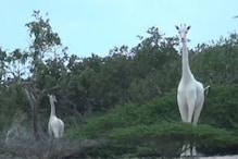 Rare White Giraffes Killed by Poachers at Kenya's Ishaqbini Hirola Conservancy