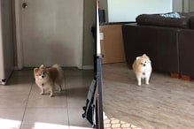 This Dog Can't Stop Staring at His Human Parent  Now That He's Home All Time