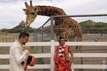 Watch: This Giraffe Photobombs Couple's Wedding Shoot, Snatches Groom's Turban in California