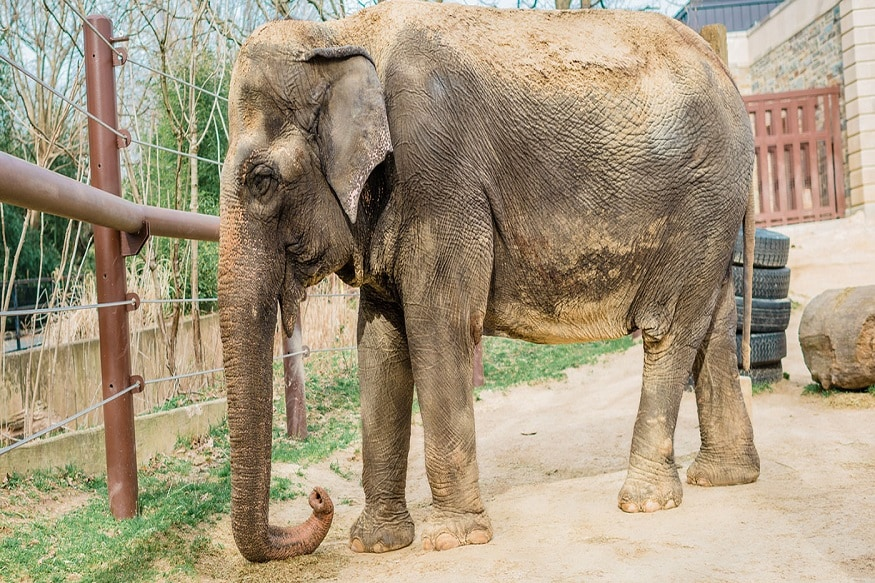 72-year-old Elephant, Gifted to US by India, Euthanised at Washington Zoo