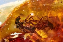 Amber Fossil Shows Two Trapped Flies that Died while Mating 41 Million Years Ago