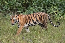 Tigress Attacks and Injures Two in Pilibhit, Villagers Threaten to Kill Her Next Time