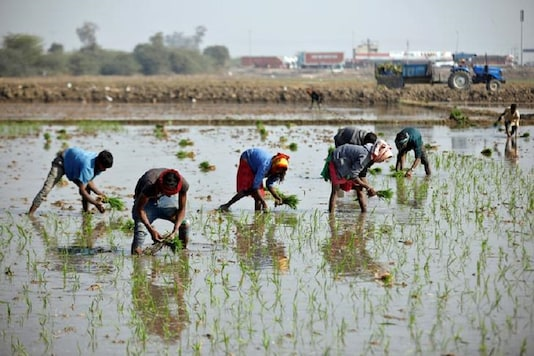 Farmers plant saplings in a paddy field.(Representative image, REUTERS/Amit Dave     TPX IMAGES OF THE DAY)
