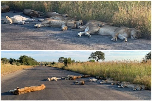a pride of lions were caught napping on the road in Kruger National Park amid coronavirus lockdown | Image credit: Twitter