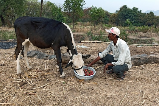 Anil Salunkhe, a farmer, feeds strawberries to his cow during a 21-day nationwide lockdown to slow the spreading of coronavirus disease (COVID-19), at Darewadi village in Satara district in the western state of Maharashtra, India, April 1, 2020. Picture taken April 1, 2020. REUTERS/Rajendra Jadhav