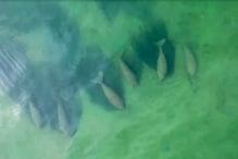 Rare Herd of Dugongs Spotted Off Thai Coast as Tourists Stay Indoors Due to Coronavirus