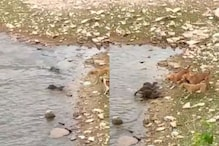 Watch: Brave Otters Fight Off Pack of Dogs to Protect Their Baby in Madhya Pradesh