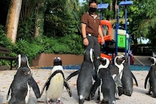 Penguins Day Out: Singapore Zoo's Cold Residents are Exploring the Premises as Humans Stay Indoors