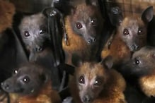 Dead Bat Carcasses Create Panic in Meerut, Veterinary Institute Rules Out Link to Coronavirus