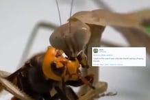 WATCH: Praying Mantis Demolishing the Brain of a Murder Hornet Has Got Twitter Cheering