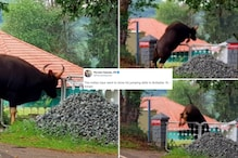 Indian Gaur Showing off its Jumping Skills in Lockdown Has Stunned the Internet