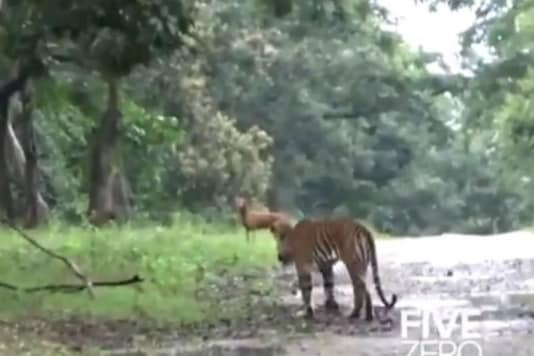 Watch: Wild Dog Raises Alarm During a Close Chase by Tiger, Leaves Internet Surprised