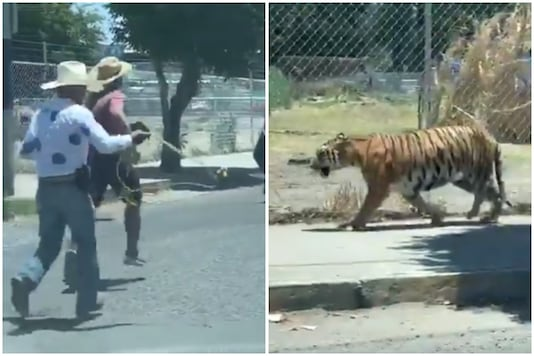 Video of men in cowboy hats chasing a tiger with a lasso has gone viral on the internet with many christening it 'Tiger King Mexico' | Image credit: Twitter