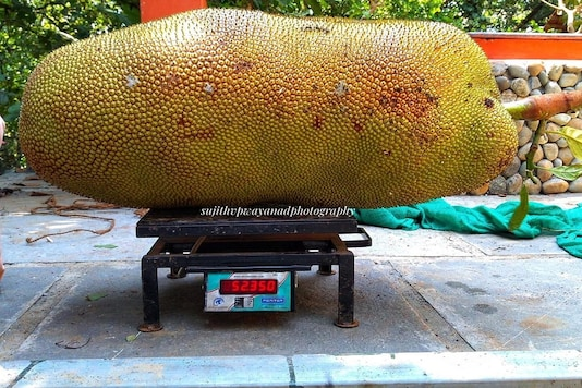 The jackfruit found in a farm in Kannur weighed 52.35 kg immediately after harvesting. (Photo: News18)