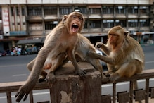 Monkey Runs Away with Covid-19 Test Samples After Attacking Lab Worker in Meerut