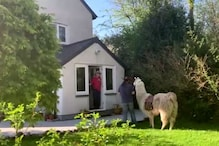 This Llama is Delivering Food to Remote Houses in UK amid Coronavirus Lockdown