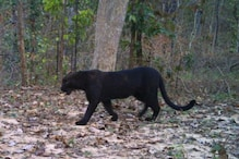 Bagheera, Is That You? Rare Black Panther Spotted in Chhattisgarh Tiger Reserve After 7 Years