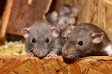 Chew it! Rats are Going to Get More Aggressive Once Lockdown Ends