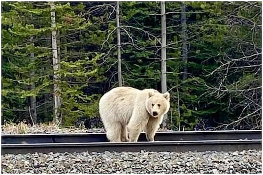 White grizzly bears are an extremely rare sight | Image credit: Twitter