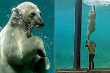 Polar Bear Plays with a Worker through His Aquarium's Glass in a Belgium zoo