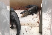 WATCH: Florida Woman Comes Face to Face With Two Alligators Fighting at her Doorstep