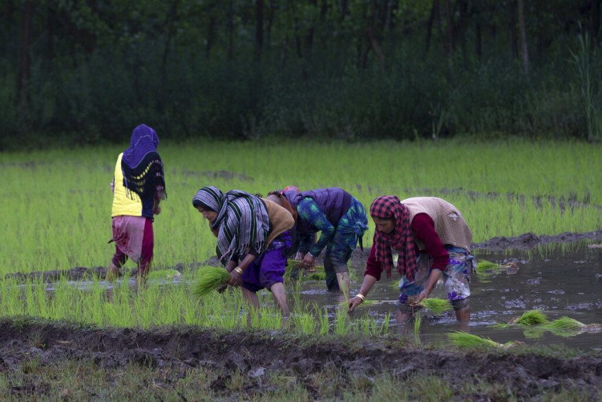 Despite restrictions and the absence of non-local workers, Kashmir's paddy transplantation season is going on full swing as locals are ensuring that the lands of their ancestors do not go barren because of the threat posed by the global pandemic. (Image: AP)