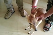 Barking Deer Rescued from Farmer's House in Odisha after Tip-off