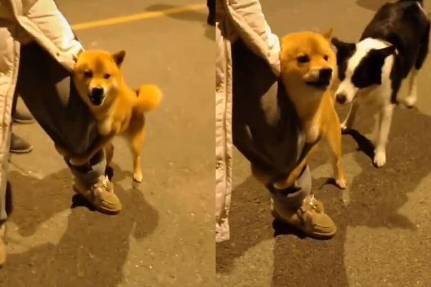 Watch: Viral Video of This 'Brave' Dog Taking on His Enemies is Leaving Internet in Splits