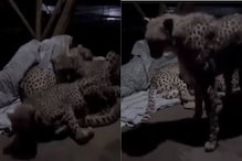 Watch: This Man Sleeping with Three Cheetahs has Left Internet Awestruck